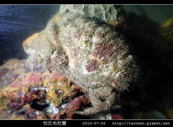 牧氏毛粒蟹 Pilumnopeus makiana_03.jpg