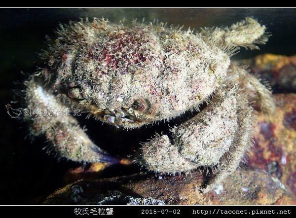 牧氏毛粒蟹 Pilumnopeus makiana_05.jpg