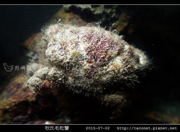 牧氏毛粒蟹 Pilumnopeus makiana_06.jpg
