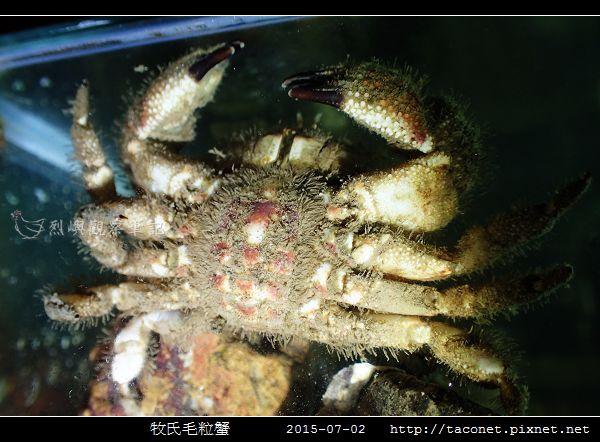 牧氏毛粒蟹 Pilumnopeus makiana_08.jpg