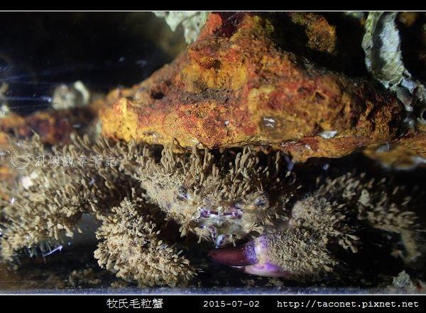 牧氏毛粒蟹 Pilumnopeus makiana_07.jpg