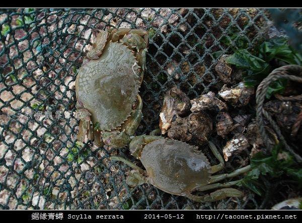鋸緣青蟳 Scylla serrata _01.jpg