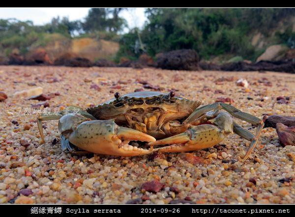 鋸緣青蟳 Scylla serrata _03.jpg