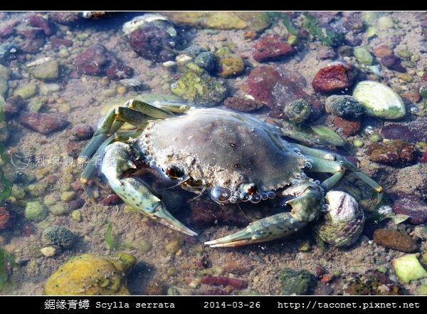 鋸緣青蟳 Scylla serrata _05.jpg