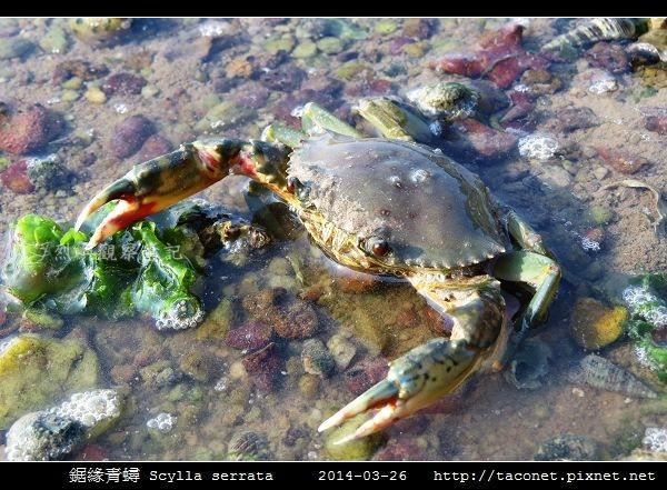 鋸緣青蟳 Scylla serrata _06.jpg