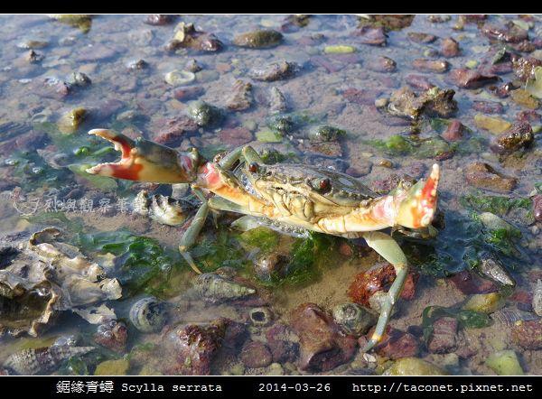 鋸緣青蟳 Scylla serrata _07.jpg