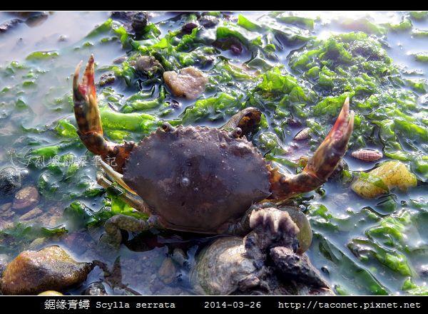 鋸緣青蟳 Scylla serrata _08.jpg