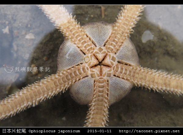 日本片蛇尾 Ophioplocus japonicum_02.jpg