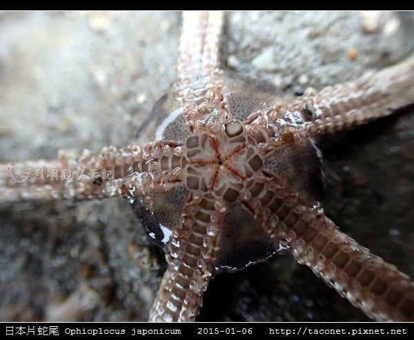 日本片蛇尾 Ophioplocus japonicum_04.jpg