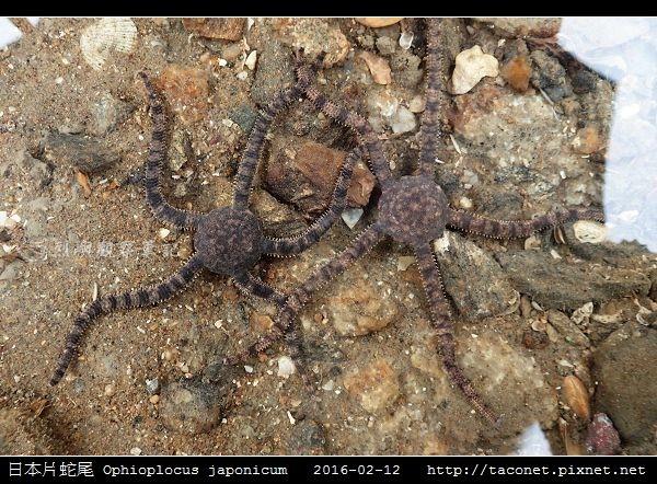 日本片蛇尾 Ophioplocus japonicum_05.jpg