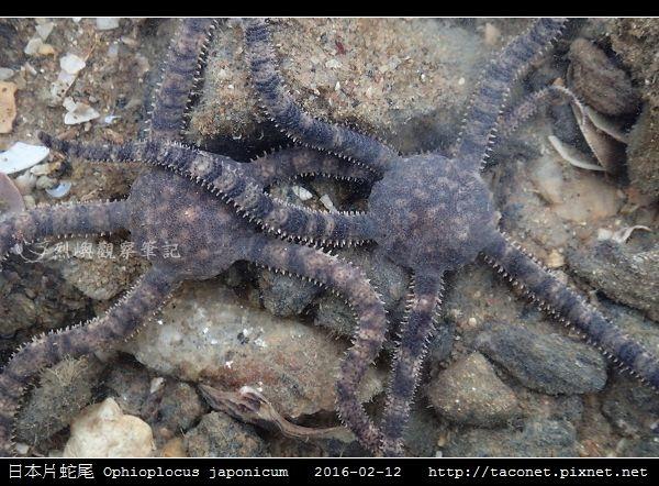 日本片蛇尾 Ophioplocus japonicum_06.jpg