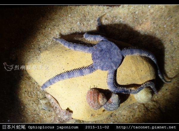 日本片蛇尾 Ophioplocus japonicum_08.jpg