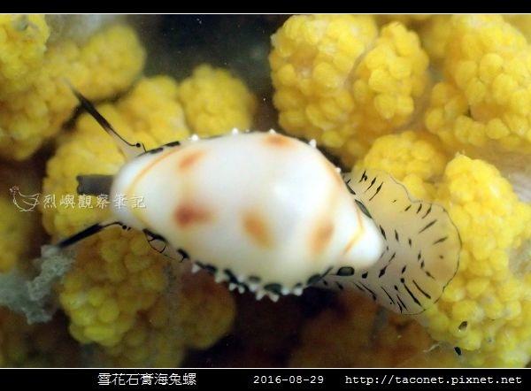雪花石膏海兔螺_02.jpg