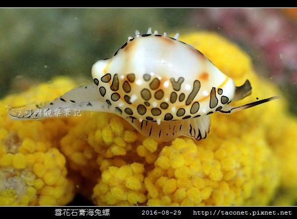 雪花石膏海兔螺_05.jpg