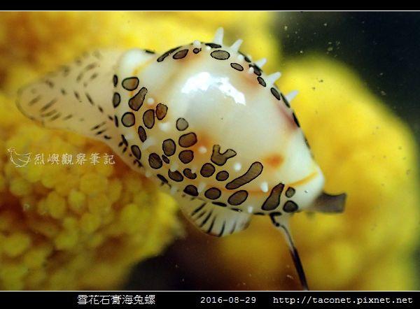 雪花石膏海兔螺_06.jpg