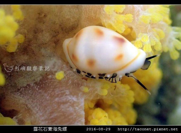 雪花石膏海兔螺_07.jpg