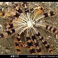 掌麗羽枝 Lamprometra palmata_02.jpg