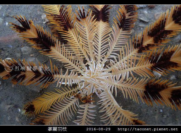 掌麗羽枝 Lamprometra palmata_05.jpg