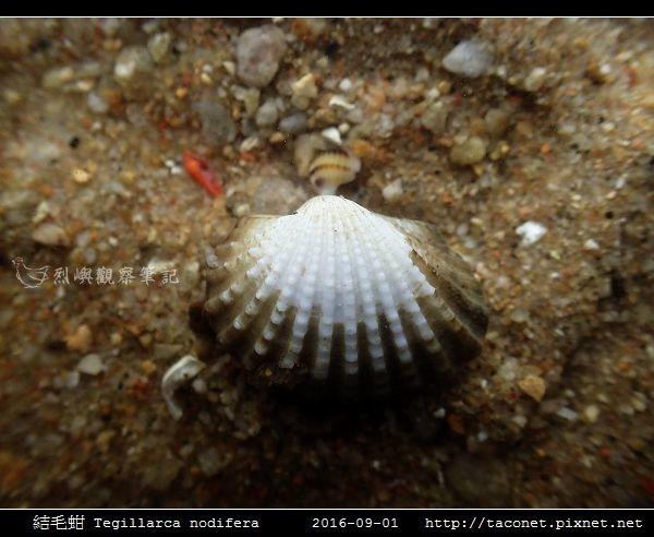 結毛蚶 Tegillarca nodifera_3.jpg