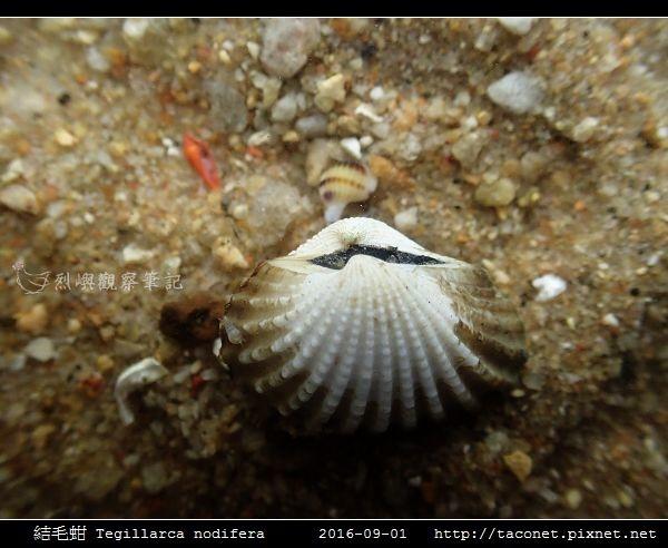 結毛蚶 Tegillarca nodifera_4.jpg