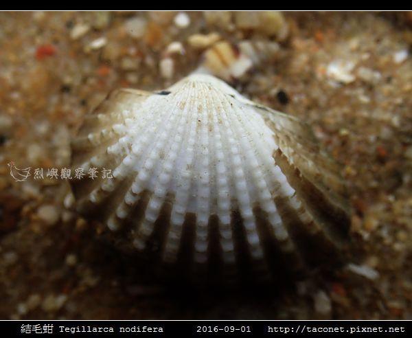 結毛蚶 Tegillarca nodifera_6.jpg