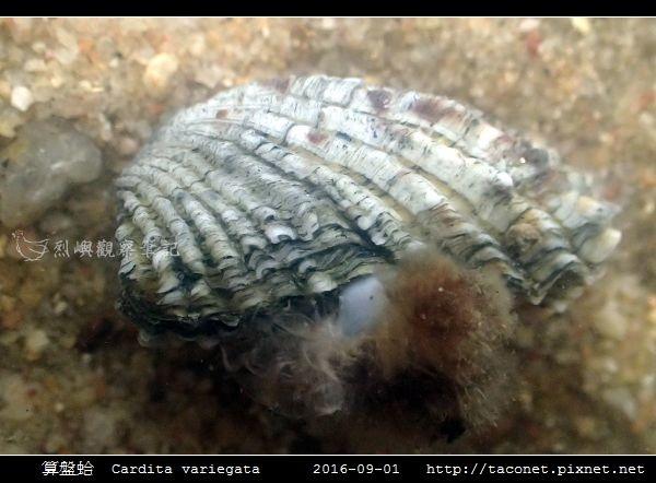 算盤蛤 Cardita variegata_08.jpg
