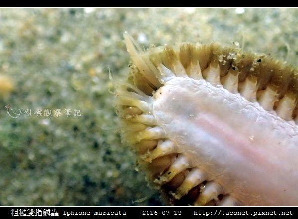 粗糙雙指鱗蟲 Iphione muricata_2.jpg