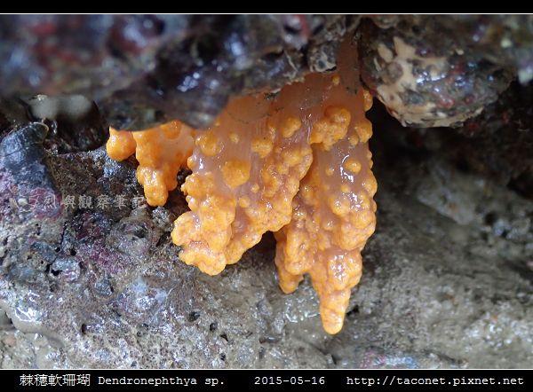 棘穗軟珊瑚 Dendronephthya sp_04.jpg