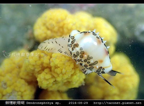 棘穗軟珊瑚 Dendronephthya sp_08.jpg