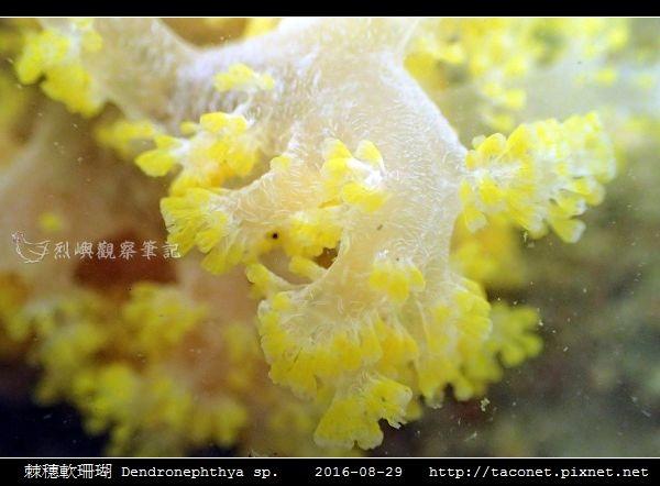 棘穗軟珊瑚 Dendronephthya sp_09.jpg