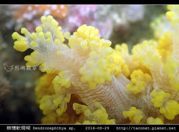 棘穗軟珊瑚 Dendronephthya sp_10.jpg