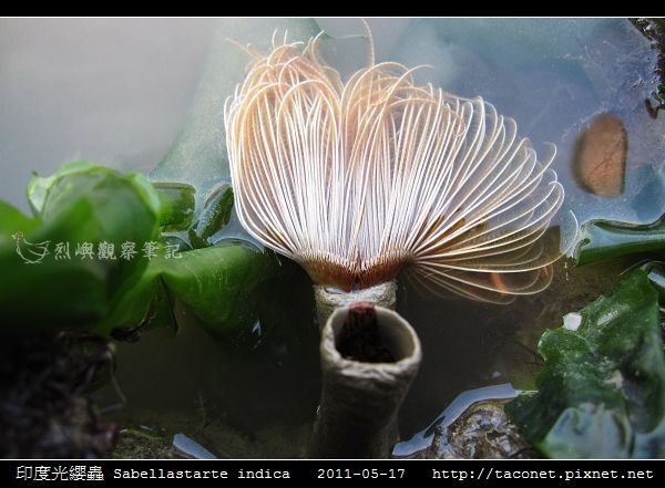 印度光纓蟲 Sabellastarte indica_02.jpg