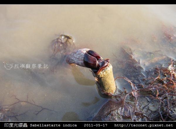 印度光纓蟲 Sabellastarte indica_03.jpg