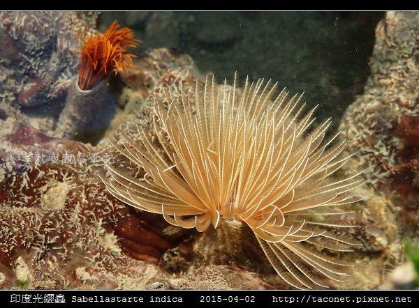 印度光纓蟲 Sabellastarte indica_09.jpg
