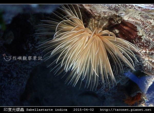 印度光纓蟲 Sabellastarte indica_10.jpg