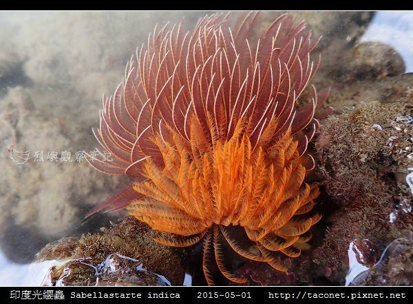 印度光纓蟲 Sabellastarte indica_15.jpg