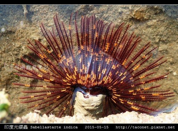 印度光纓蟲 Sabellastarte indica_17.jpg