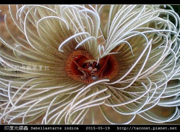 印度光纓蟲 Sabellastarte indica_20.jpg