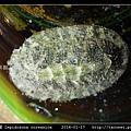 銼石鱉 Lepidozona coreanica_1.jpg