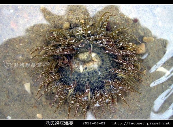 狄氏襟疣海葵 Anthopleura dixoniana_03.jpg
