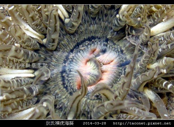 狄氏襟疣海葵 Anthopleura dixoniana_06.jpg