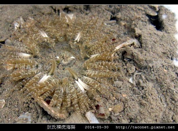 狄氏襟疣海葵 Anthopleura dixoniana_07.jpg