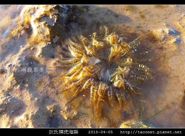 狄氏襟疣海葵 Anthopleura dixoniana_08.jpg