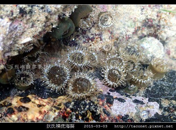 狄氏襟疣海葵 Anthopleura dixoniana_09.jpg