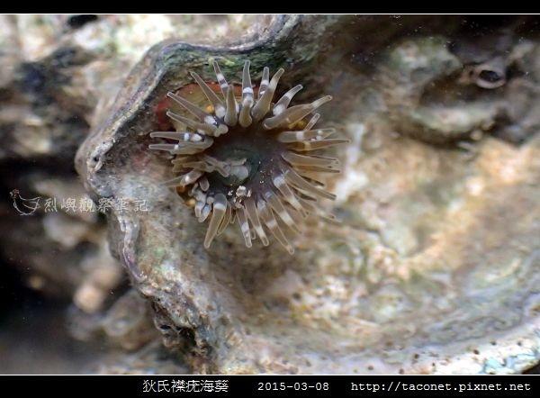 狄氏襟疣海葵 Anthopleura dixoniana_11.jpg