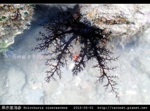黑赤星海參 Holothuria cinerascens_06.jpg