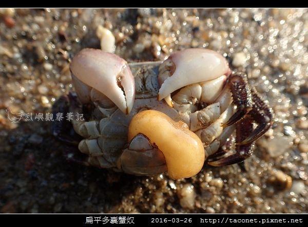 扁平多囊蟹奴_3.jpg
