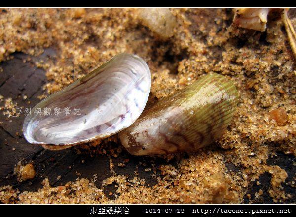 東亞殼菜蛤_01.jpg