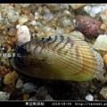 東亞殼菜蛤_02.jpg