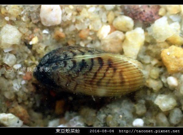 東亞殼菜蛤_04.jpg